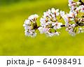 おの桜づつみ回廊 64098491