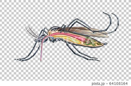 蚊子的結構 64108164