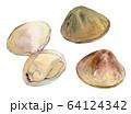水彩イラスト 魚介 貝 海鮮 ハマグリ 64124342