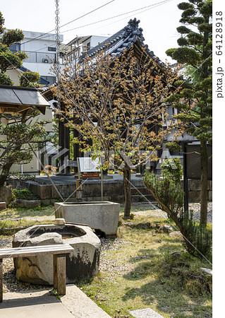 岡崎 松應寺(しょうおうじ)の御衣黄桜(ギョイコウザクラ) 64128918