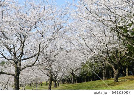 空を白く染める美しいソメイヨシノの桜 64133007