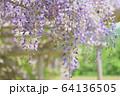 丸瀬布藤園の藤の花 64136505