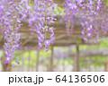 丸瀬布藤園の藤の花 64136506