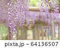 丸瀬布藤園の藤の花 64136507