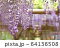 丸瀬布藤園の藤の花 64136508