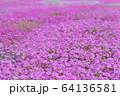 遠軽町の芝桜 64136581