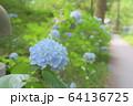 久安寺の紫陽花 64136725