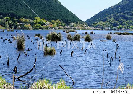 水の中から出ているたくさんの流木 64148352