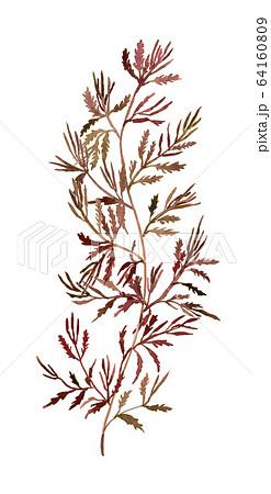 Sargassum horneri アカモク 64160809
