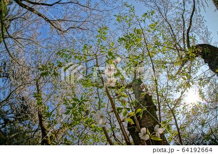 超広角レンズで撮影した日本庭園の春の桜 64192664