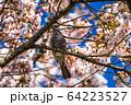 ヒヨドリと桜 宮城県大河原町 64223527