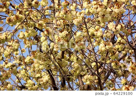 妙正寺川沿いにある満開のウコン桜(8) 64229100