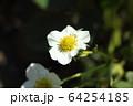 イチゴの花 64254185