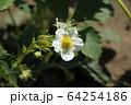 イチゴの花 64254186