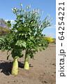 大根の花 64254221