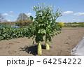 大根の花 64254222