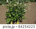 大根の花 64254223