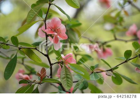木瓜の花 64258278