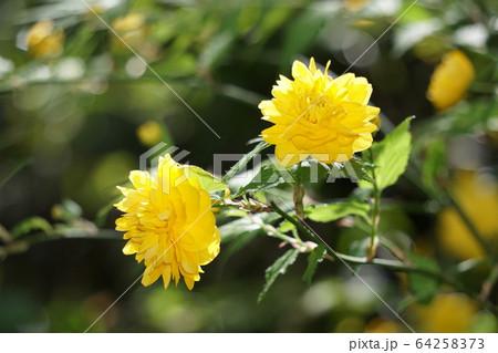 八重咲の山吹の花 64258373