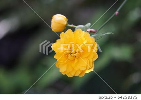 八重咲の山吹の花 64258375