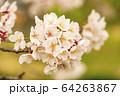 ソメイヨシノ(セピア調) 64263867