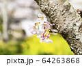 ソメイヨシノ 64263868