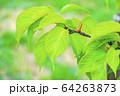 新緑 64263873