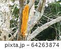 台風の被害を受けた桜の木 64263874