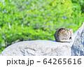猫 64265616