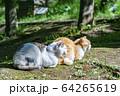 猫 64265619