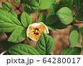 植物 花 春の花 64280017