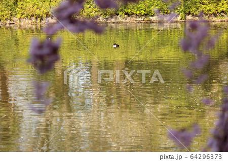 春の陽射しの中でのんびり泳ぐカモ(2) 64296373