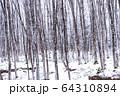 《新潟県》積雪の美人林 64310894