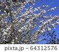 八重咲きの雪柳 64312576