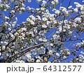 八重咲きの雪柳 64312577