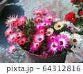 マツバギクの鉢植え 64312816
