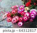 マツバギクの鉢植え 64312817