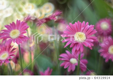 リングボケがかわいらしい紫色のガーベラ 64319914