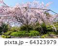 妙心寺 退蔵院 桜 64323979
