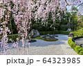 妙心寺 退蔵院 桜 64323985