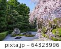 妙心寺 退蔵院 桜 64323996