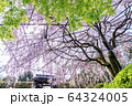 妙心寺 退蔵院 桜 64324005