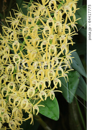 小さくスリムな花弁を持った蘭たちの集合体 64417775