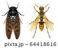 セグロアシナガバチとアブラゼミ 64418616