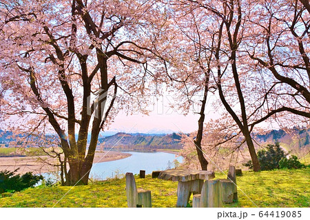 満開に咲く小千谷市上片貝の桜・信濃川風景 64419085