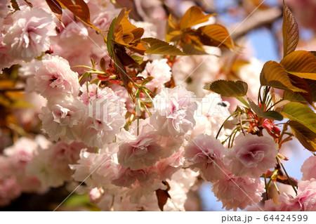春の陽射しの中で満開になった八重桜(6) 64424599