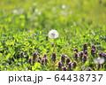 春の草花 ヒメオドリコソウ 64438737