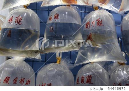 香港・通菜街(金魚街)で、ビニール袋に酸素とともに入れられて売られる熱帯魚(アジア・アロワナ) 64446972