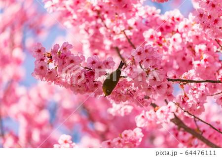 桜の蜜を吸うメジロ 64476111