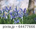 紫色の花 64477666